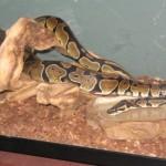 Ball Python drinking
